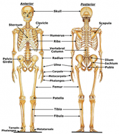What does  the skeletal system do?