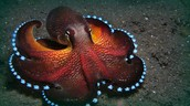 An octopus, an invertebrate, has 500 million neurons