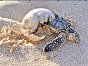 A Green Sea Turtle hatching