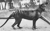 Attempt to Repopulate Tasmanian Tigers