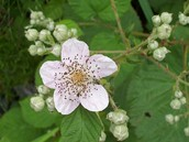 Flower of the Himalayan blackberry