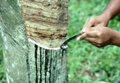 What do the Rubber Tappers want to happen?