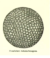 Il radiolare Aulonia hexagonia