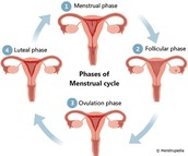 4 stages of the Menstrual Cycle