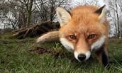 The Fox!