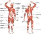 Full Body Muscluar System Diagram