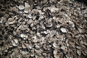 A whole lot of oysters