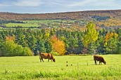 Cattle and Agriculture