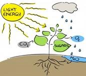 Plants use light to make food