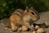 chipmunck in deciduous forest