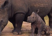 WHY DO WE NEED TO SAVE THE WHITE RHINO