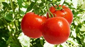 Tomatoes | GMO? Yes
