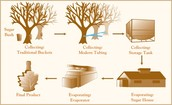 Maple syrup Process