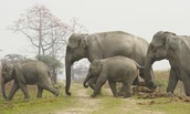 Indian Elephants are in danger