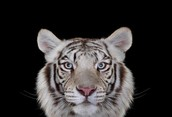 me and my mom love this tiger
