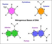 Bases of DNA