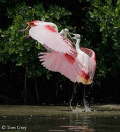 Common name of Roseate spoonbill