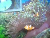 Mucus on Clownfish