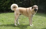 #8 Anatolian Sheperd Dog