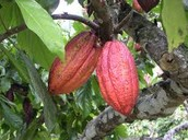How The Cocoa Bean is Harvested