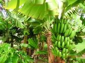 Banana Tree (Musa acuminata)