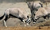 Antelopes fighting