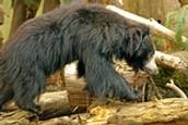 Sloth Bear Climblimg