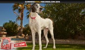 THE TALLEST DOG
