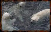 Polar Bears in public