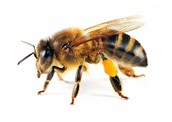 Nid'abeillev