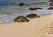 The history of the Green Sea Turtle