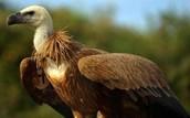 Griffin Vulture!