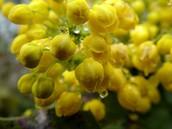 The Oregon Grape