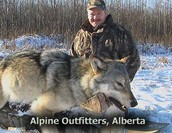 Open season: Will Rebounding Wyoming Wolves Thrive Without U.S. Protection?