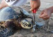 Loggerhead being cut out of marine debris