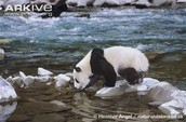 Giant Panda Drinking From River
