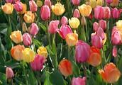 Symbol 2: Tulips