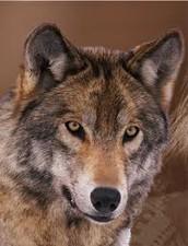 Wolf's Head!