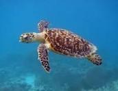 Hawksbill Sea Turtle   (AKA Eretmochelys imbricata)