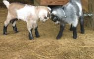 Young Nigerian Dwarf Goats