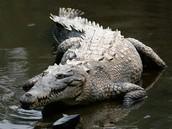 American Crocidile