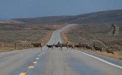 Moose Migration