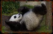 Panda's food