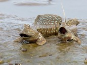 Blue spotted mudskipper