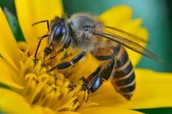 How bees get nectar