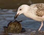 A sea gull eating a crab.