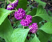 The Callicarpa Americana or The American Beautyberry: