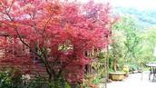 楓樹 (maple)