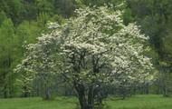 State Tree: Flowering Dogwood
