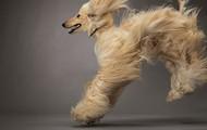 Manny, an Afghan hound